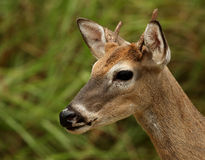 White-tailed Buck Portrait Stock Photos