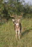 White-tailed buck Stock Image