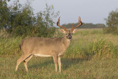 White-tailed buck Stock Photo