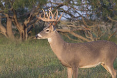 White-tailed buck. In the Rio Grande Valeey of South Western Texas Royalty Free Stock Photos