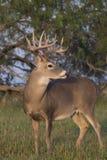White-tailed buck Stock Photos
