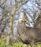 White-tailed buck in rut Royalty Free Stock Photos
