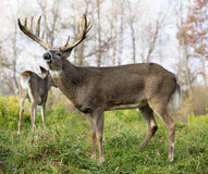 White-tailed buck in rut Royalty Free Stock Image