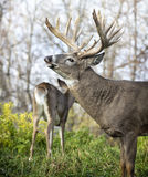 White-tailed buck in rut Stock Photography