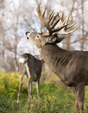 White-tailed buck in rut Stock Images