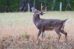 White Tailed Buck throws his head in the air winding. Stock Photography