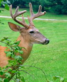 White- tailed Buck in velvet Stock Photo