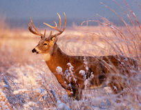 White-tailed Buck. Winter morning on the high plains of Colorado Royalty Free Stock Photography