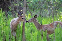 White-tailed Buck Stock Images