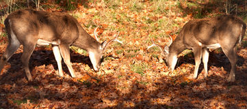 White-tailed bucks Stock Photos