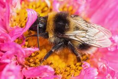 White tailed bumblebee macro sat on a pink Aster Royalty Free Stock Images