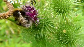 White-tailed bumblebee on thistle. White-tailed bumblebee on a thistle flower in Germany stock video