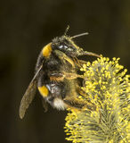 White Tailed Bumblebee on willow Stock Photography