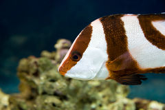 White-tailed damselfish (dascyllus aruanus) Stock Photo