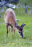 White-tailed deer. A white-tailed deer in the wild Stock Photography