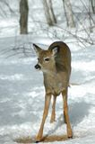 White-tailed Deer. A white-tailed deer stands in the snow Royalty Free Stock Image