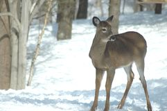 White-tailed Deer. A white-tailed deer stands in the snow royalty free stock images