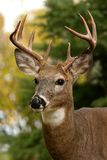 White Tailed Deer. Closeup portrait of a white tailed deer royalty free stock photo