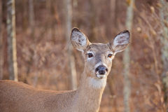 White Tailed Deer Stock Photos