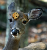 White-tailed deer. Picture of a White-tailed deer (Odocoileus virginianus) also known as a Virginia Deer Royalty Free Stock Image