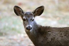 White-tailed Deer. In Yosemite Stock Photos