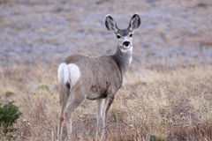 White tailed deer. In the meadow Stock Image