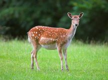 White tailed deer Royalty Free Stock Photography