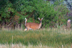 White-tailed deer. With tail raised in warning Stock Photo