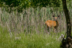 White-tailed Deer Stock Photos