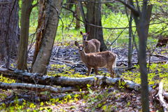 White Tailed Deer. The white-tailed deer, on alert in a boreal forest in north Quebec, Canada Stock Image