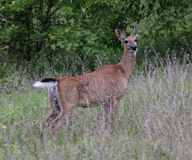 White-tailed Deer on Alert Royalty Free Stock Image