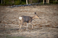 White tailed deer, Arizona, North America Stock Photo