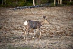 White tailed deer, Arizona, North America Stock Photo