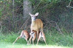 White-tailed Deer With Babies Royalty Free Stock Photos