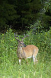White Tailed Deer Buck Royalty Free Stock Photo