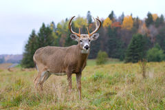 White-tailed deer buck. In autumn Royalty Free Stock Images