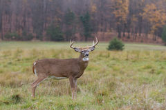 White-tailed deer buck in autumn rut Royalty Free Stock Photos