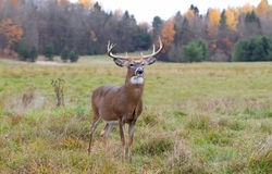 White-tailed deer buck in autumn rut Stock Image