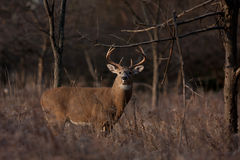 White-tailed deer buck in autumn rut Royalty Free Stock Photography