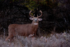 White-tailed deer buck in autumn rut Royalty Free Stock Image