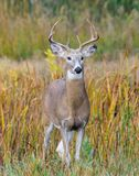 White-tailed Deer Buck In Autumn Stock Photography