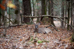White-tailed deer buck bedded in woods. A large whitetail deer buck bedded down and resting in the forest royalty free stock image