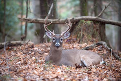 White-tailed deer buck bedded in woods. A large whitetail deer buck bedded down and resting in the forest royalty free stock photography