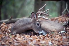 White-tailed deer buck bedded in woods. A large whitetail deer buck bedded down and resting in the forest royalty free stock photos