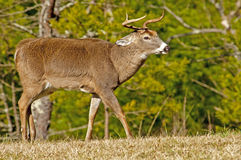 A White Tailed Deer Buck at Cades Cove. A White Tailed Deer at Cades Cove with his ears layed back ready for battle Royalty Free Stock Photo