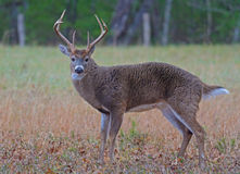White-tailed Deer buck in Cades Cove. Stock Photo