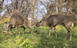 White-tailed deer buck and doe Stock Photos