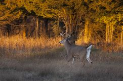 A white-tailed deer buck in the early evening light during the rut stock image