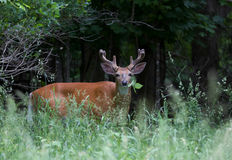 White-tailed deer buck eating leaves in spring Royalty Free Stock Photo