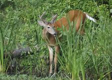 White-tailed Deer buck at the edge of a river Stock Photos